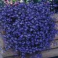"Heirloom 50+ Perennial Flowering Groundcover Seeds - Rock Cress - ""Cascading Blue"""