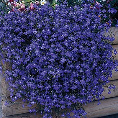 "Heirloom 50+ Perennial Flowering Groundcover Seeds - Rock Cress - ""Cascading Blue"""