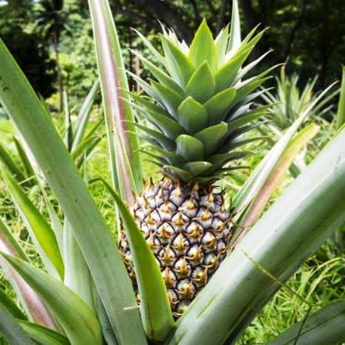 Amazon Com Pineapple Plants White Jade Includes Four 4 Plants Garden Outdoor