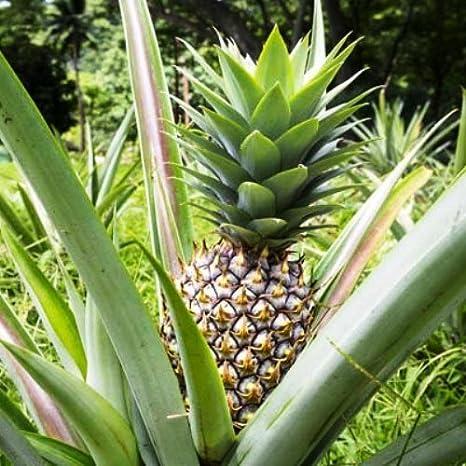 Amazoncom Pineapple Plants White Jade Includes Four 4 Plants