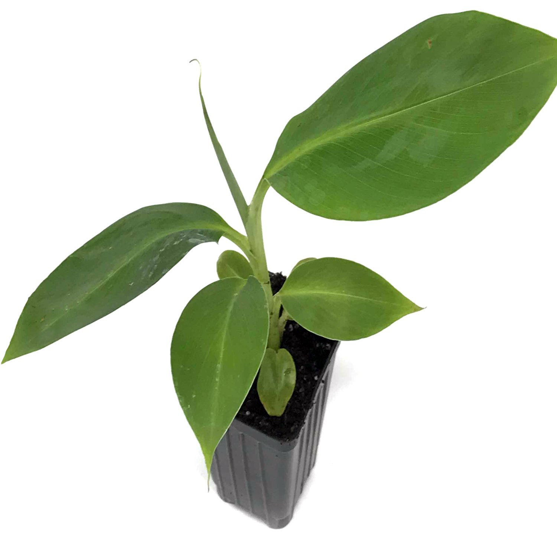 Musa Dwarf Orinoco Banana Fruit Tree Live Plant Tropical garden fruit