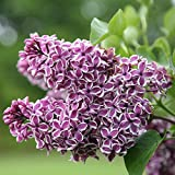 1 Dormant Plant of Syringa Sensation Lilac