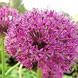 Plant World Seeds - Allium Hollandicum 'Purple Sensation' Seeds