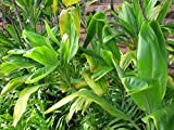 HAWAIIAN GREEN TI LEAF PLANT 2 LOGS ~ GROW HAWAII
