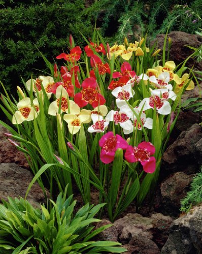 Mexican Shell Flower Mix 15 Bulbs -9/+ cm - Tigridia - Mixed Color!