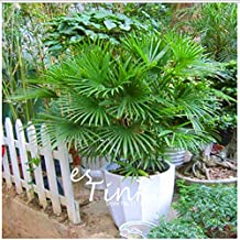 The Best Seller 30pcs Bamboo Palm Seeds Lady Palm Indoor Plants Rhapis Excelsa DIY Home Garden Tree Seeds Air Purification Bonsai Seeds