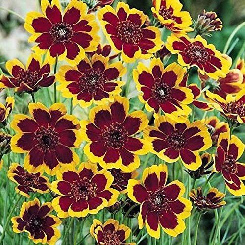 NUEVO! 40+ CHOCOLATE perfumado SEMILLAS COSMIDIUM flor/ANUAL: Amazon.es: Jardín