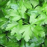 seed kingdom Parsley Italian Flat Leaf Dark Green Great Garden Herb By BULK 15,000 Seeds