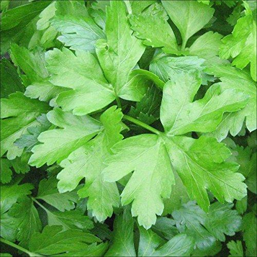 seed kingdom Parsley Italian Flat Leaf Dark Green Great Garden Herb By BULK 15,000 Seeds by seed kingdom