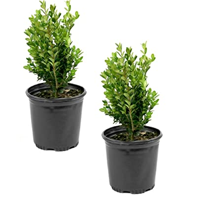 Cottage Hill Boxwood 'Wintergreen' - 2 Piece Live Plant, Green : Garden & Outdoor