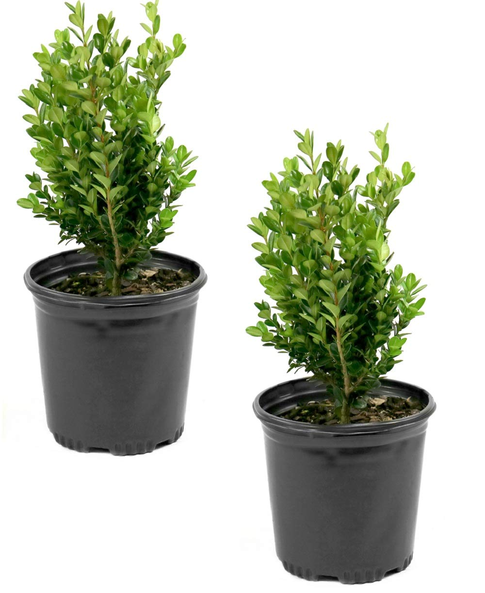 Cottage Hill Boxwood 'Wintergreen' - 2 Piece Live Plant Green