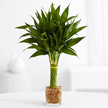 Amazon.com : ProFlowers - 1 Count Green Elegant Twist Bamboo ...
