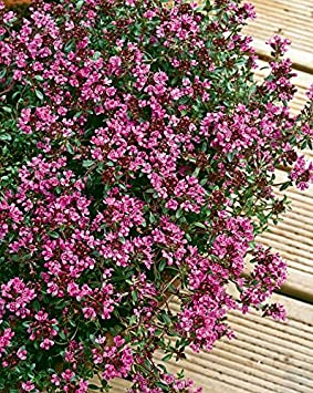 Thyme creeping red herb aromatic leaves crimson red flowers summer thyme creeping red herb aromatic leaves crimson red flowers summer loved by bees ground cover 9cm mightylinksfo