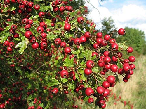 - English Hawthorn, Crataegus Laevigata, 20 Tree Seeds