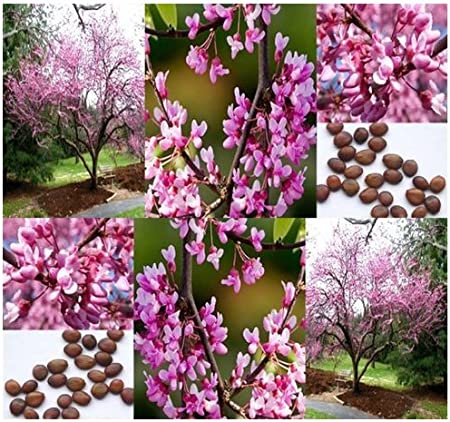 Amazon Com 20 X Eastern Redbud Tree Seeds Cercis Canadensis