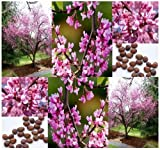 20 x Eastern Redbud Tree Seeds - Cercis canadensis VERY COLD HARDY Z. 4-9 - GORGEOUS PINK FLOWERS - By MySeeds.Co
