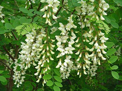 (Black Locust, Robinia pseudoacacia, 50 Tree Seeds (Fast, Hardy, Fragrant) )