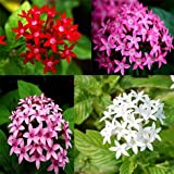 Solution Seeds Farm Rare Hierloom Pentas Lanceolata Flower seeds, 200 Seeds Starry flowers Seeds Purify Indoor Outdoor Bonsai Air Mixing colors Plant (SEEDS)