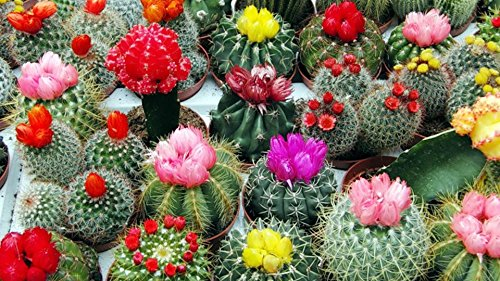 Seeds Cacti Cactus Mix Succulents Barrel Beatuful Plant Balcony Garden Ukraine