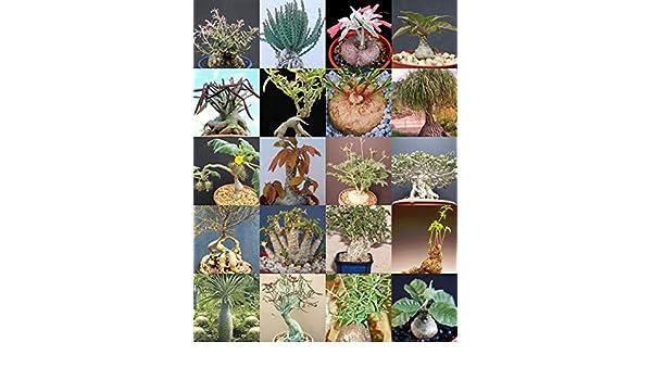 FOR SALE EXOTIC PLANTS SUCCULENTS COLLECTIBLE Adenium arabicum dwarf big size