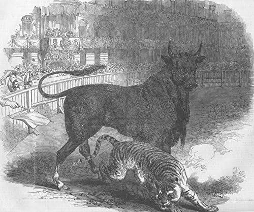 antique print Madrid Bull /& tiger fight SPAIN Plaza de Toros 1849