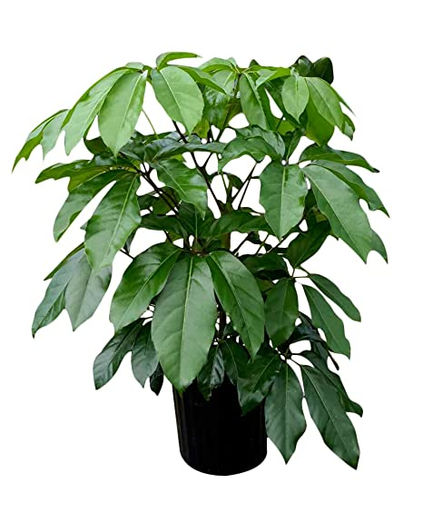 Amazon.com : Schefflera actinophylla 'Amate', Umbrella Tree - Live on umbrella tree schefflera arboricola, umbrella tree care, umbrella tree fruit, umbrella tree plant propagation, umbrella tree bulbs, umbrella tree leaf, umbrella tree tree, umbrella tree fertilizer, umbrella tree potted plant, umbrella tree christmas, umbrella tree flower, umbrella tree tropical, umbrella tree bark, umbrella tree indoor, umbrella tree furniture, umbrella tree seeds, umbrella tree leaves, umbrella tree bonsai,