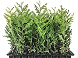 Thuja Green Giant Arborvitae Qty 60 Live Plants Privacy Hedge