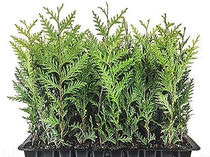 amazon com thuja green giant arborvitae qty 60 live plants privacy