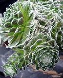 """Forest Frost Hens & Chicks - Sempervivum - Very Hardy - 4"""" Pot"""