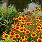 Non GMO Bulk Annual Gaillardia Seeds -Indian Blanket Gaillardia pulchella (1/2 Lb) 112,500
