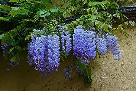 Amazon Com 20pcs Rare Sky Blue Moon Wisteria Tree Seeds Potted