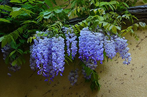 20PCS rare sky Blue moon wisteria tree seeds ,potted flower seeds ,outdoor perennial ornamental plants for home & garden
