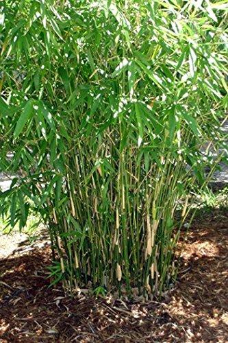 bambusa-multiplex-green-hedge-bamboo-3-plus-feet-tall-non-invasive-form