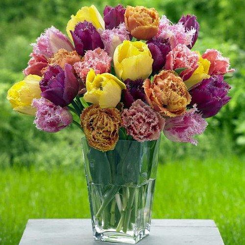 - SILKSART Fringed Tulip Collection 8 Bulbs - Spectacular Colors - 12/+ cm Bulbs