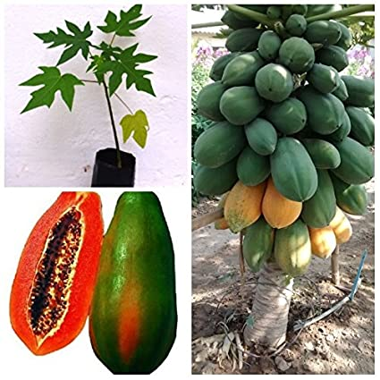 12ca9c53f M-Tech Gardens Rare Exotic Tropical ' Thailand Red Papaya ' Fruit Plant:  Amazon.in: Garden & Outdoors