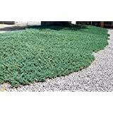 Blue Rug Juniper - Shrub Hardy Evergreen Groundcover for Slope/Hills and Erosion Prevention Potted Plant (1 Gallon)