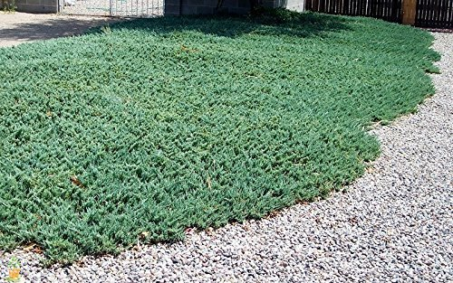 juniper blue rug - 2