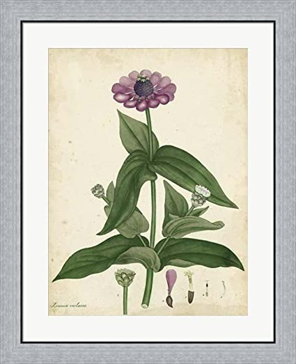 Amazon.com: Antique Zinnia by Henry Andrews Framed Art Print Wall ...