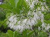 White Fringe Tree, Chionanthus Virginicus, 10 Seeds