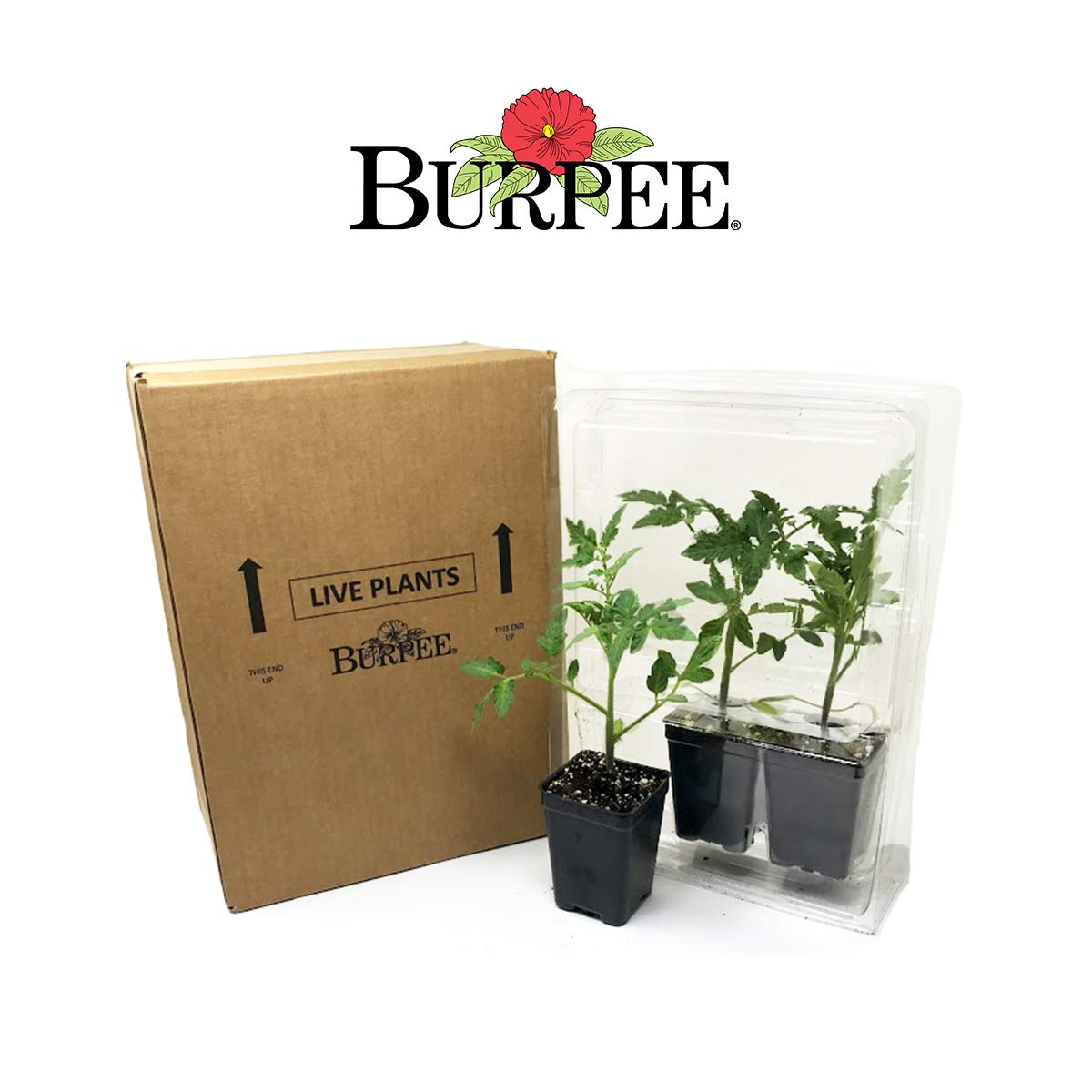 Burpee Big Boy' Hybrid Large Slicing Red Tomato Rich Flavor, 3 Live Plants | 2 1/2'' Pot