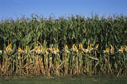 Wallmonkeys Feed Corn Is Husked While on the Stalk for a Presentation Peel and Stick Wall Decals WM341013 (30 in W x 20 in H)