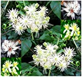 100 x Clematis vitalba, Old man's beard, Traveller's Joy - Attracts Butterflies and Honey Bees - CLEMATIS SEEDS - Zones 4 and UP - By MySeeds.Co