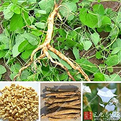 100pcs Real Codonopsis Pilosula Bonsai Bonsai (Traditional Medicine) Anti Cancer Hearb Plants for Garden Flowers Bonsai
