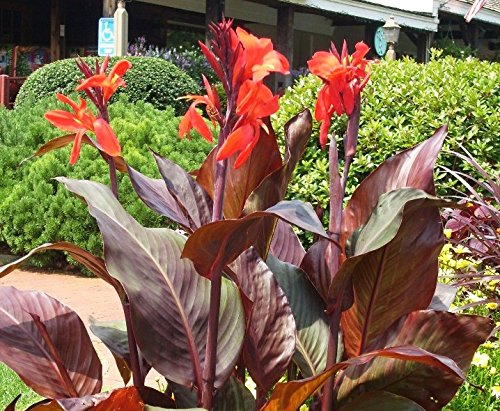 2 Tall Canna Lily - Australia - Bulbs/Roots/Rhizomes/Tubers/Plants