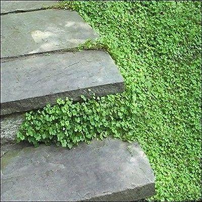 Kenilworth Ivy Seeds (Cymbalaria Muralis) 200+Seeds : Garden & Outdoor