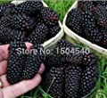 100nutritious Pre-stratified Jumbo Thornless Blackberry Seeds, Juicy , Sweet ,Healthy Fruit