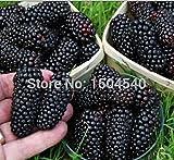 100nutritious Pre-stratified Jumbo Thornless Blackberry Seeds, Juicy , Sweet ,Healthy Fruit
