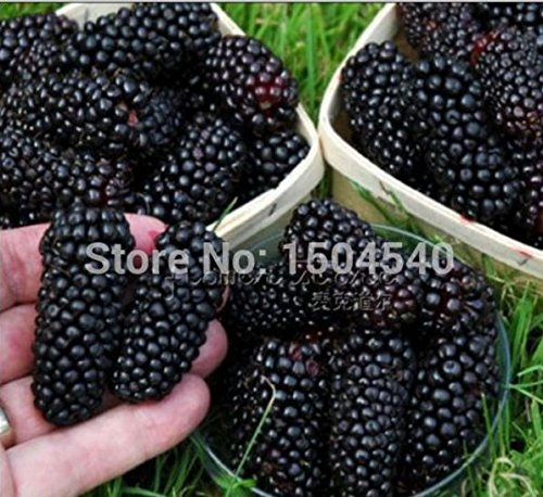 Mail Blackberry (100nutritious Pre-stratified Jumbo Thornless Blackberry Seeds, Juicy , Sweet ,Healthy Fruit)