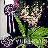 100pcs phaius tankervilleae rizoma Bonsai Seed Flower Plants Decor Home Garden