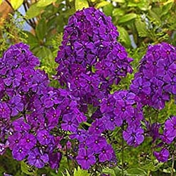 Amazon new 30 fragrant violet phlox flower seeds shade 30 fragrant violet phlox flower seeds shade perennial mightylinksfo Image collections